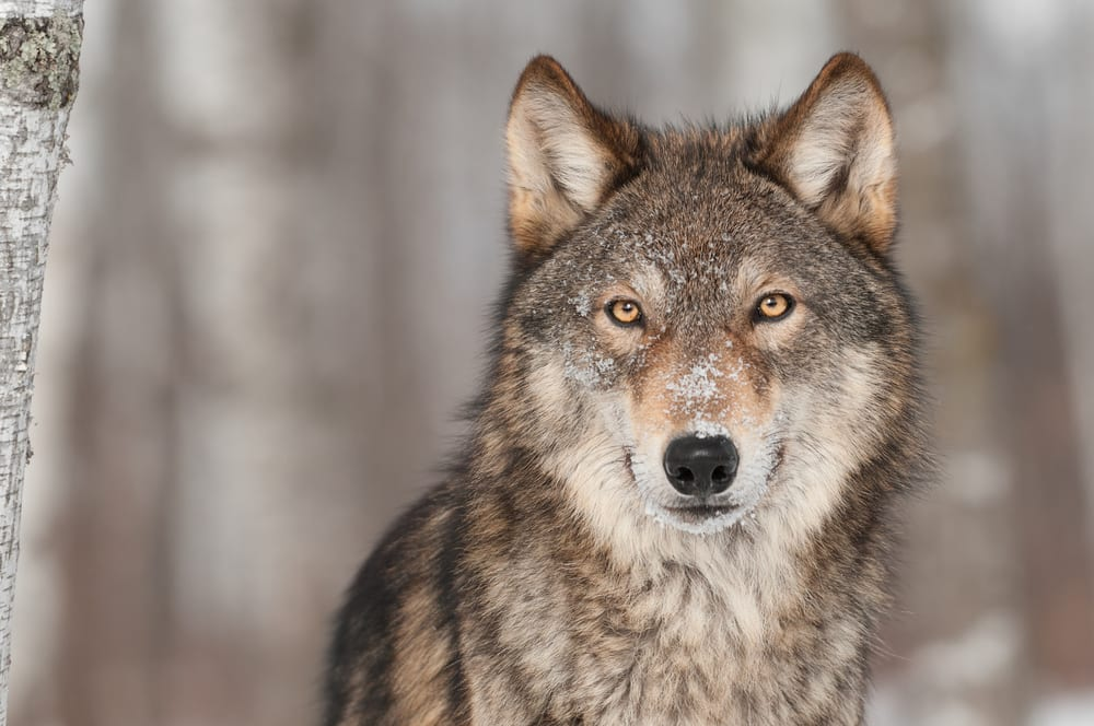 Wyoming reports at least 327 wolves; G&F says population above de-listing criteria for 19th year in a row